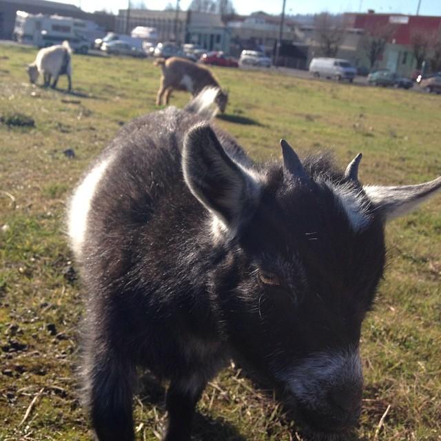 Belmont Goats